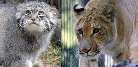 Манул и лигр из новосибирского зоопарка