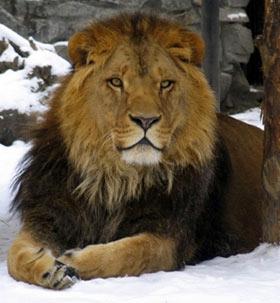 Африканский лев из Новосибирского зоопарка